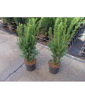Taxus media 'Hillii' in pot (50cm)