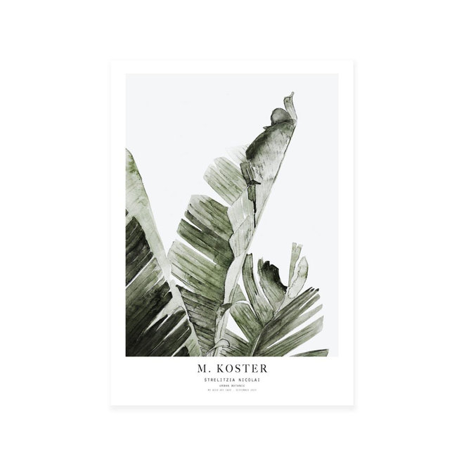 Art print | Strelitzia Nicolai