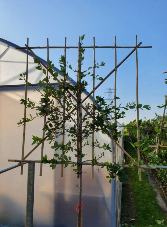 LeiSteeneik - Quercus Ilex - leiboom