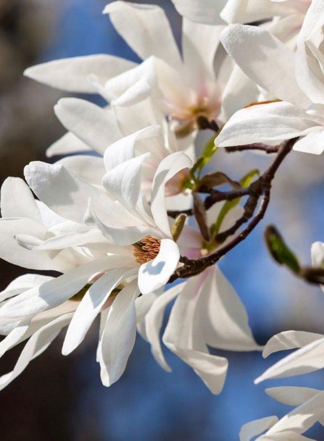Leimagnolia - Magnolia kobus