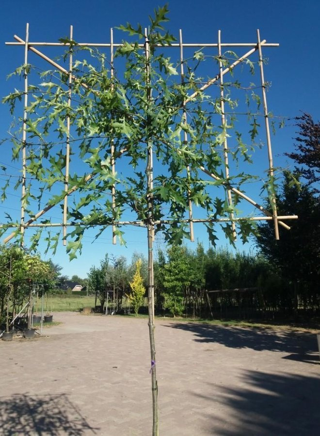 Lei-eik | Quercus Palustris | Moeraseik