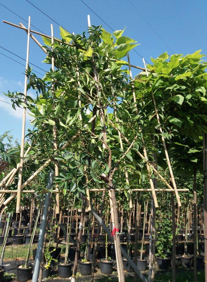 Lei-Portugese laurier | Prunus lusitanica