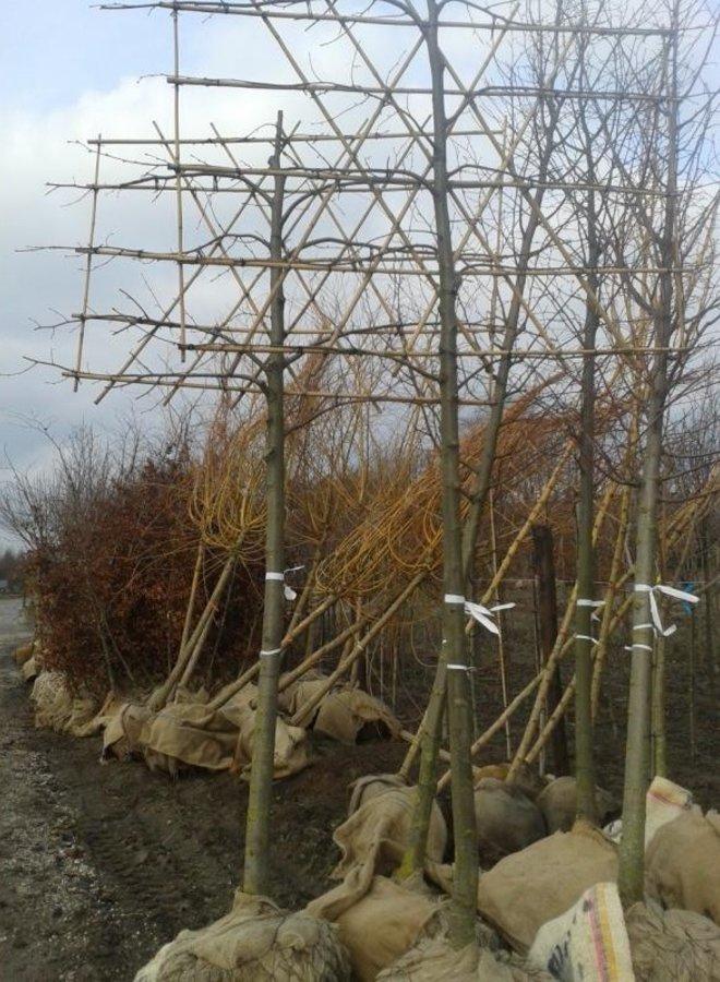 Leilinde | Tilia europea Pallida - in pot