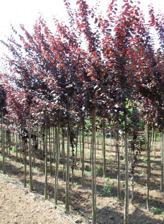 Dakprunus  - Prunus cerasifera Nigra