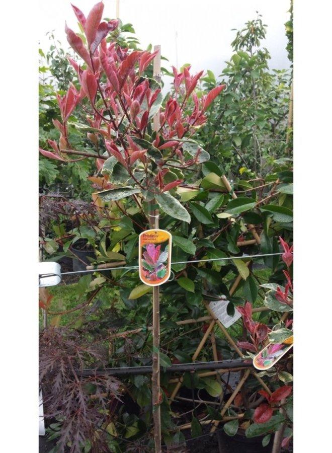 Bol-Photinia Red Robin
