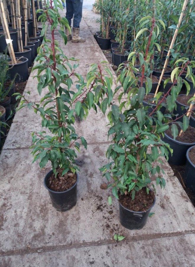 Portugese Laurier   Prunus Lusitanica