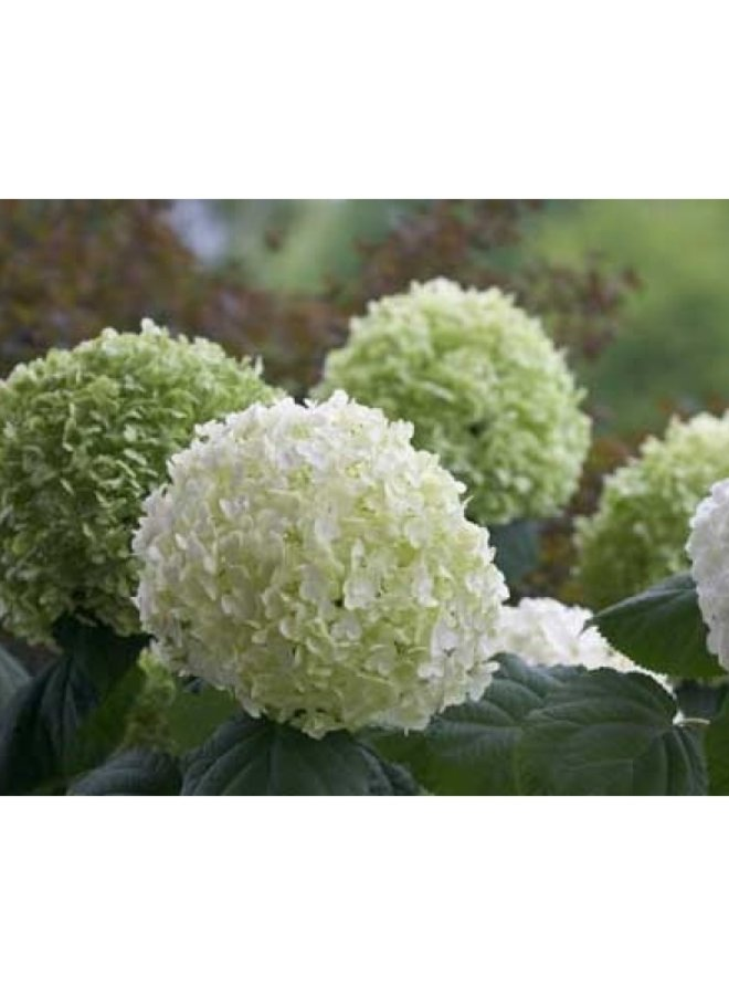 Hortensia | Hydrangea Strong Annabelle