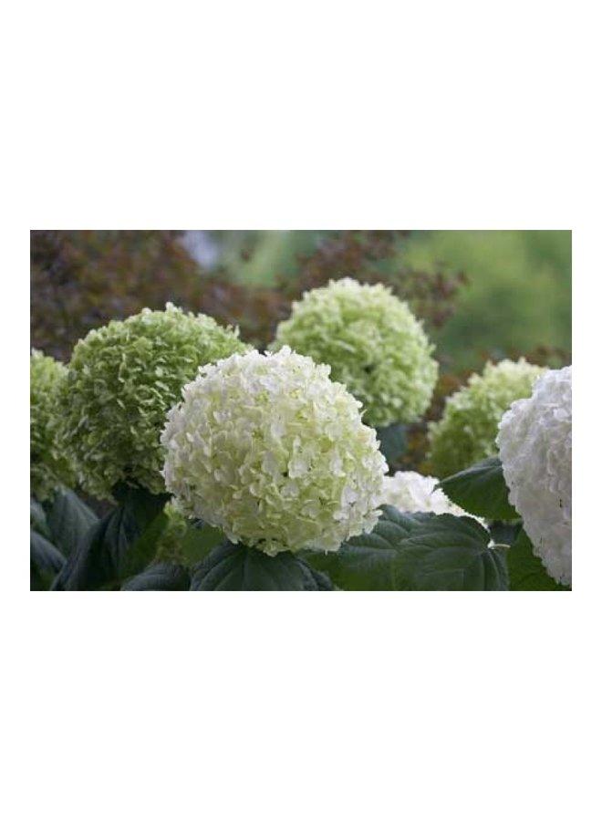 Hortensia - Hydrangea Strong Annabelle