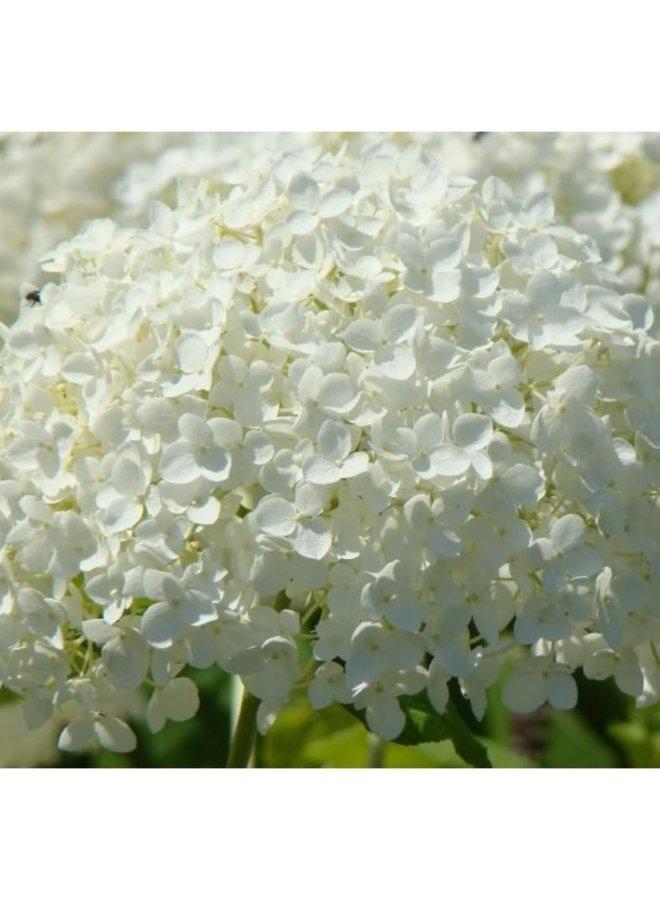 Hortensia | Hydrangea Arborescens Annabelle
