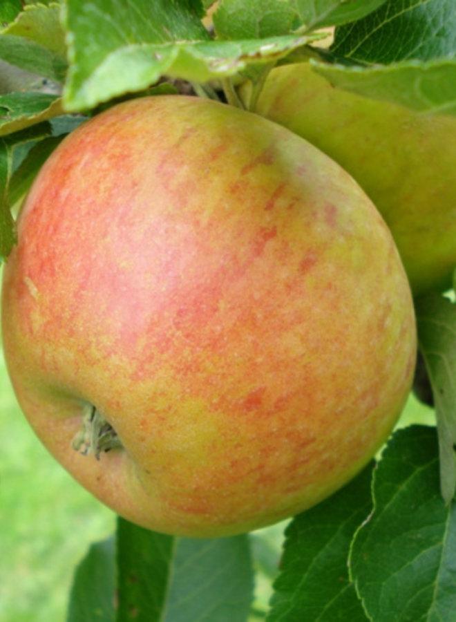 Appelboom - Malus domestica Alkmene