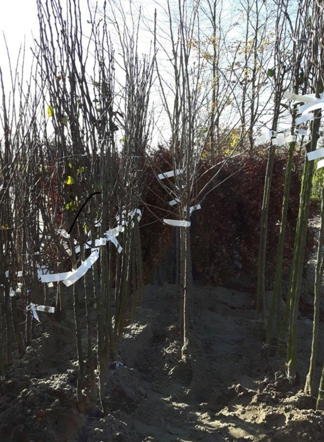 Appelboom - Malus domestica Api Noir