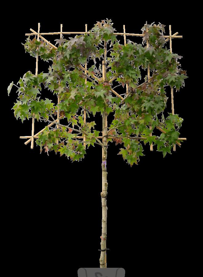 Leiamberboom - Liquidambar styraciflua Worplesdon