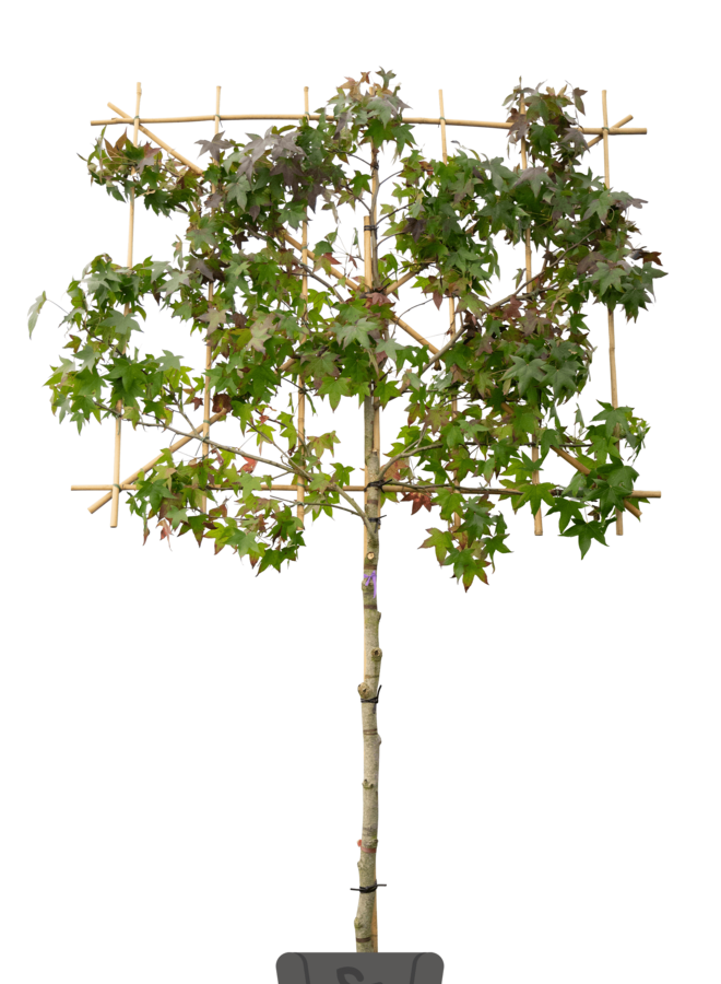 Leiamberboom - Liquidambar styraciflua