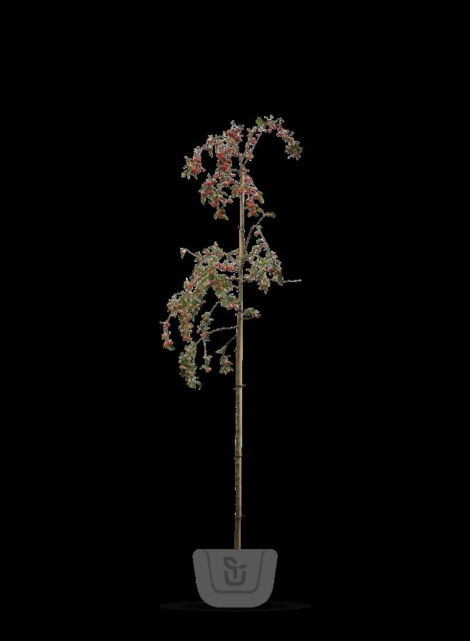 Sierappel - Malus Red Sentinel