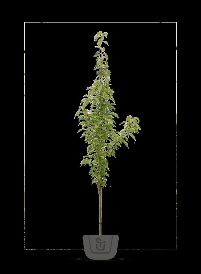 Zuilsierkers - Prunus serrulata Amanogawa