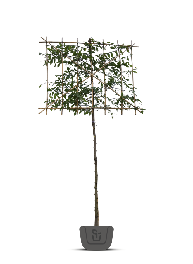 Leihaagbeuk | Carpinus betulus