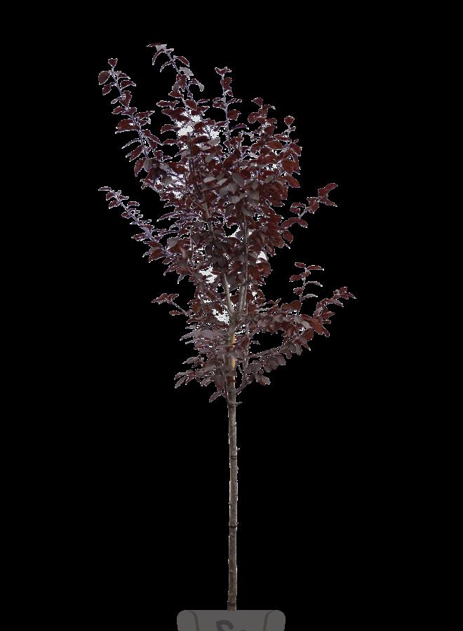Sierpruim - Prunus cerasifera Nigra