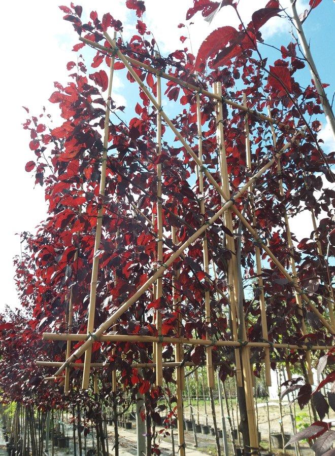 Leisierpruim -| Prunus cerasifera Nigra