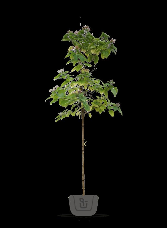 Pindakaasboom - Clereodendrum Trichotomum