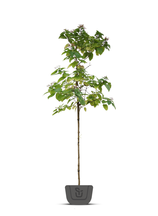Pindakaasboom | Clerodendrum Trichotomum
