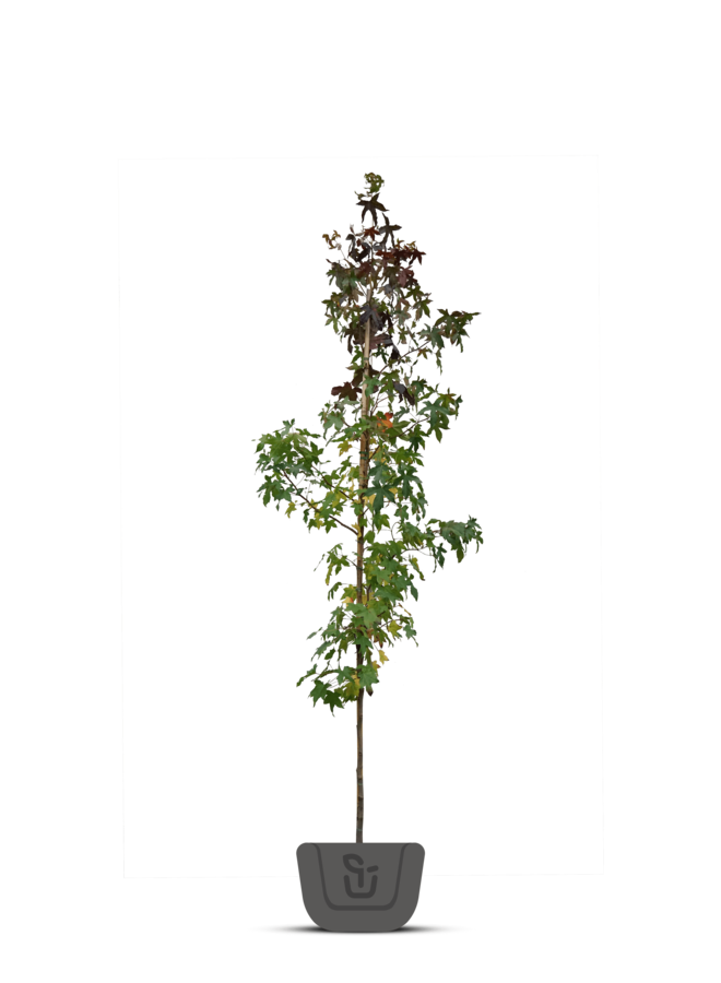 Amberboom - Liquidambar styraciflua