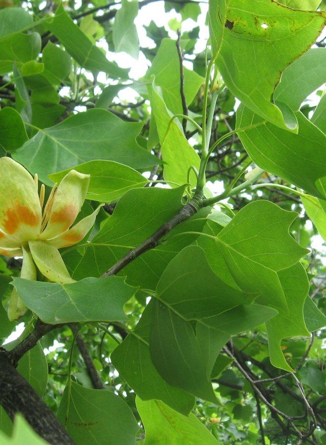 Amerikaanse tulpenboom - Liriodendron tulpifera