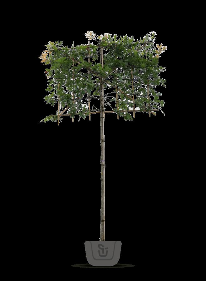 Lei-moeraseik  | Quercus Palustris
