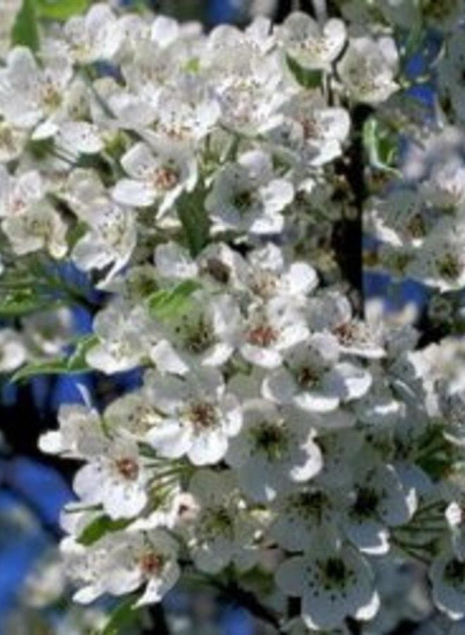 Sierpeer - Pyrus calleryana Chanticleer
