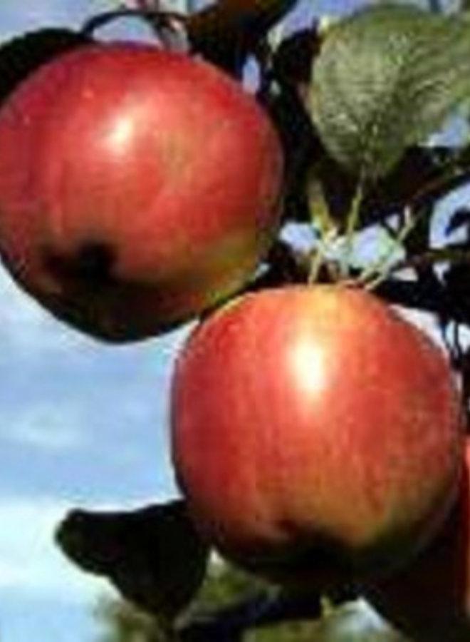 Appelboom | Malus domestica Campagnezoet