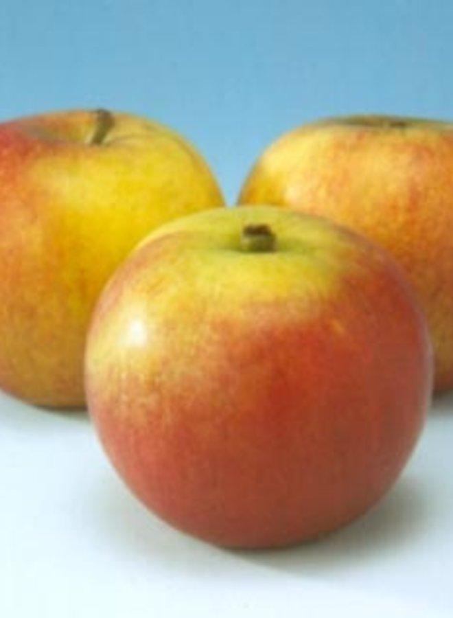 Appelboom - Malus domestica Cox's orange Pippin T12