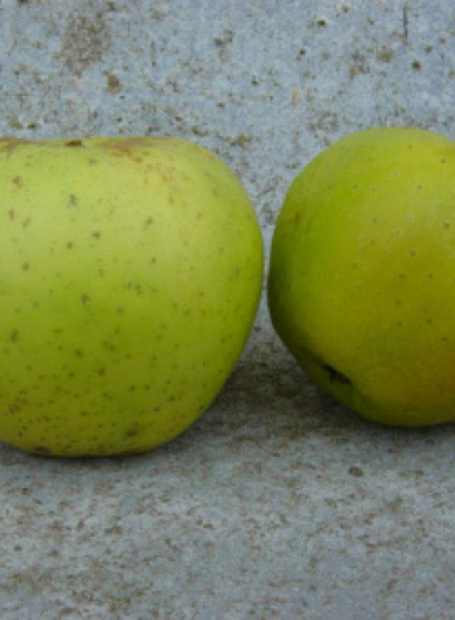Appelboom - Malus domestica Dubbele Binderzoet
