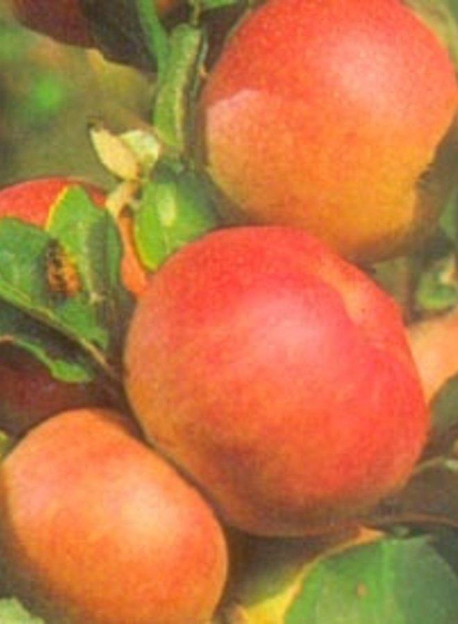 Appelboom - Malus domestica Dubbele Zoete Aagt