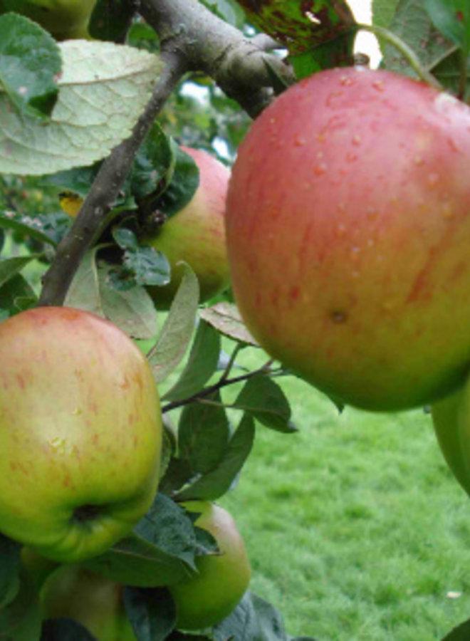 Appelboom - Malus domestica Franse Bellefleur