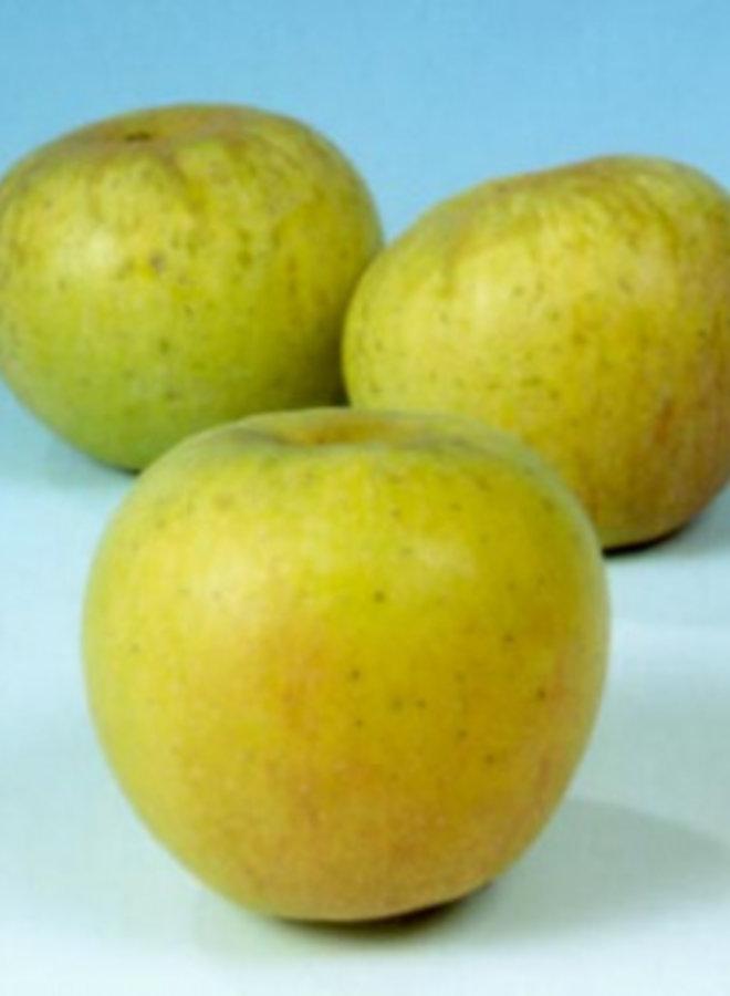 Appelboom | Malus domestica Glorie van Holland