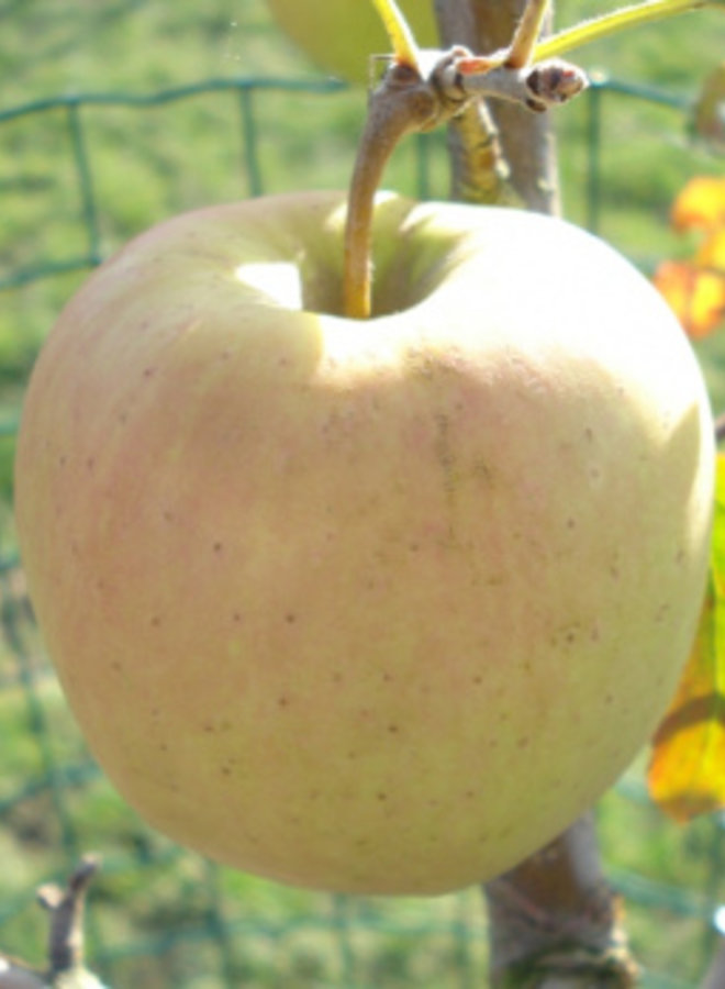 Appelboom - Malus domestica Golden Delicious