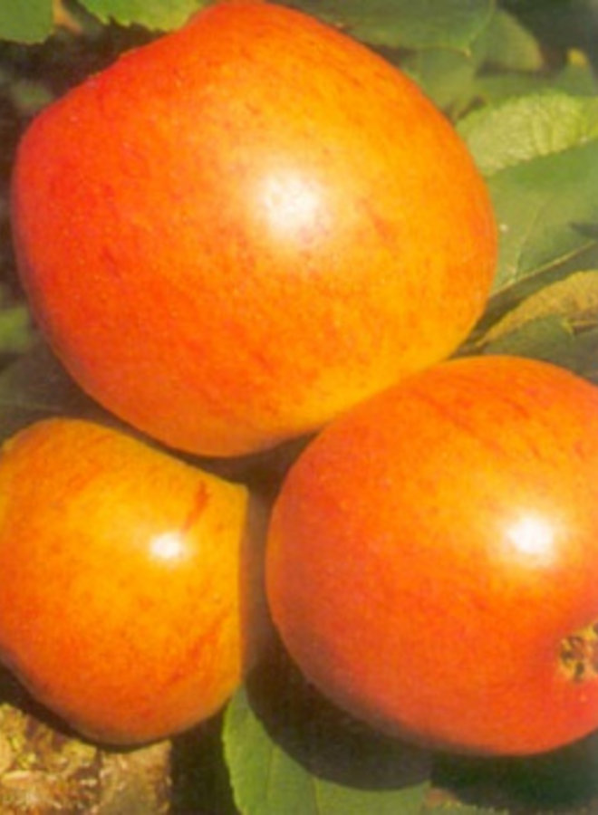 Appelboom - Malus domestica Golden Pearmain