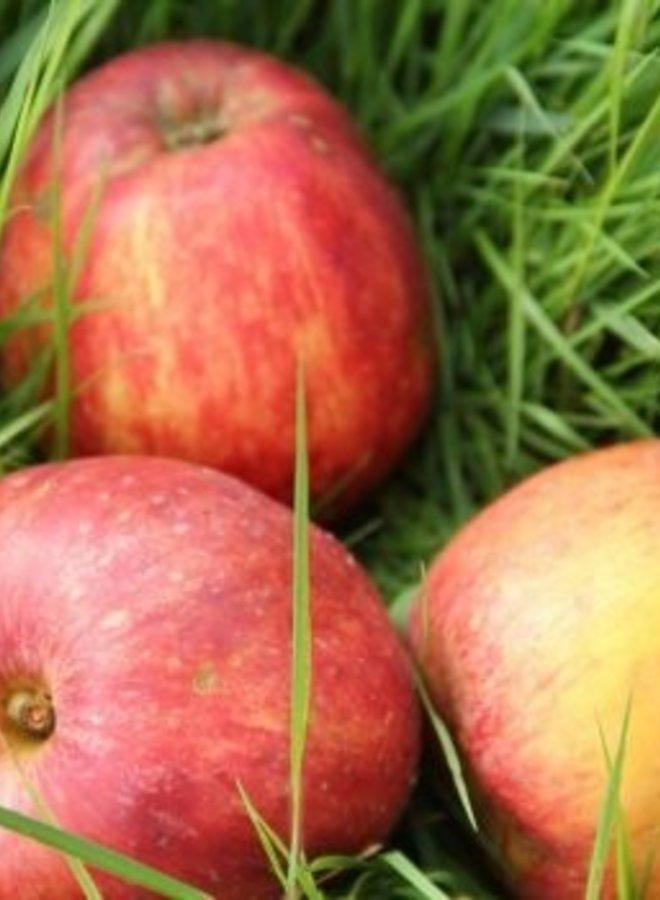 Appelboom - Malus domestica Gravensteiner