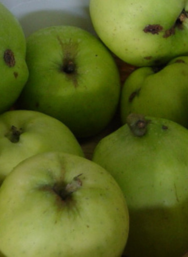 Appelboom | Malus domestica Haneman