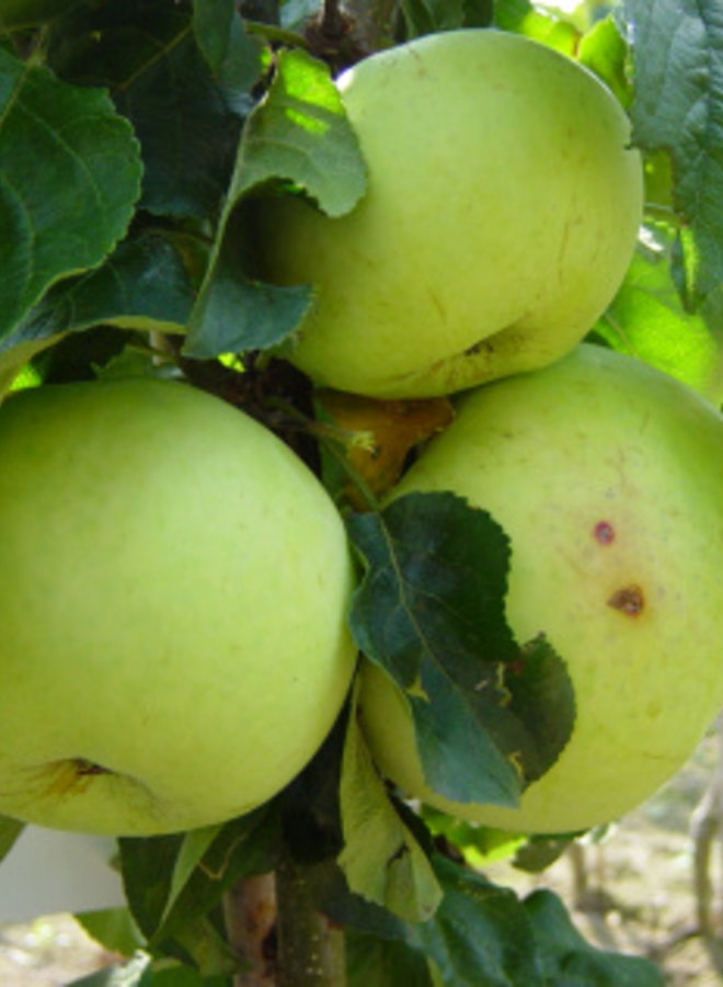 Appelboom | Malus domestica Hermien van Eibergen