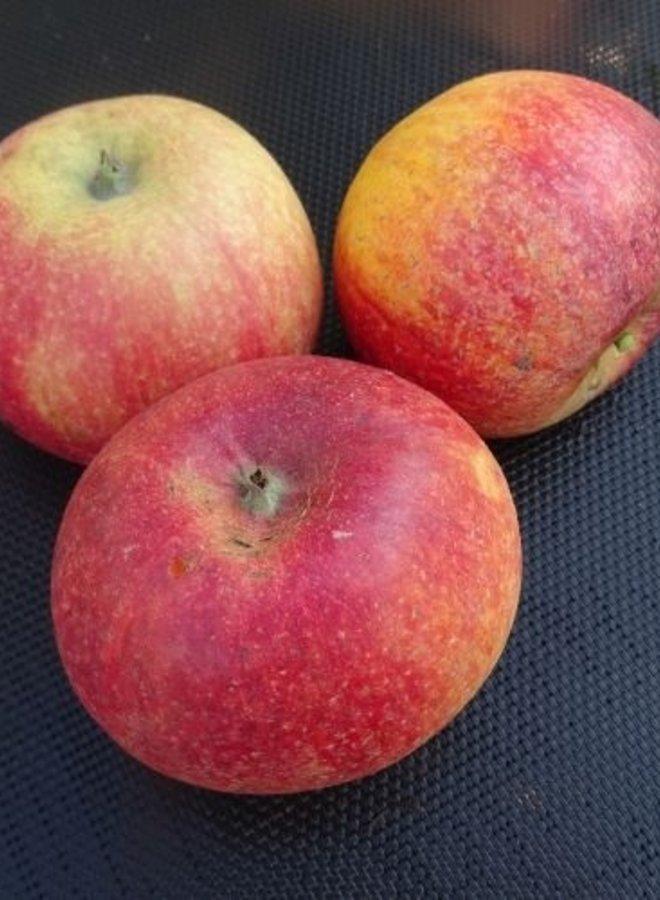 Appelboom | Malus domestica Howgate Wonder