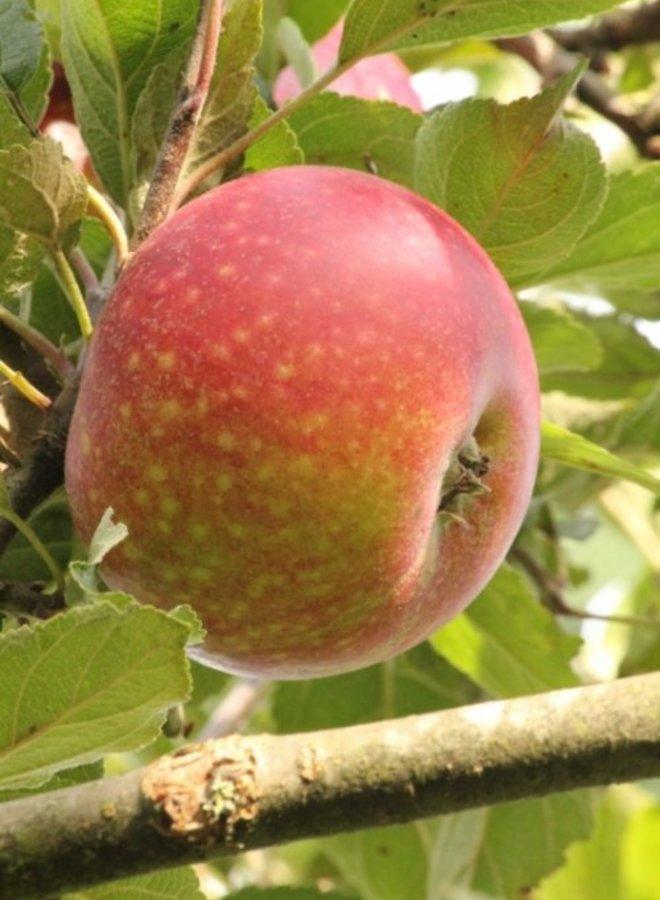 Appelboom - Malus domestica Ingrid Marie