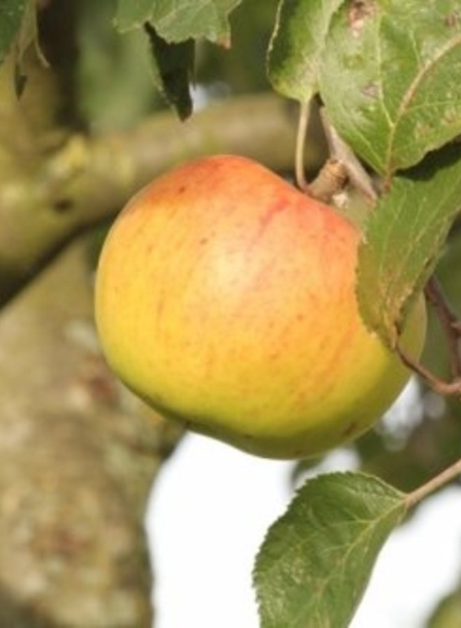 Appelboom | Malus domestica Jacques Lebel