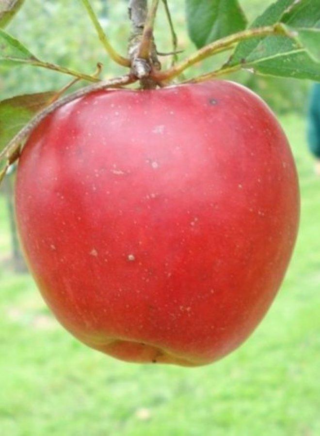 Appelboom   Malus domestica Katja