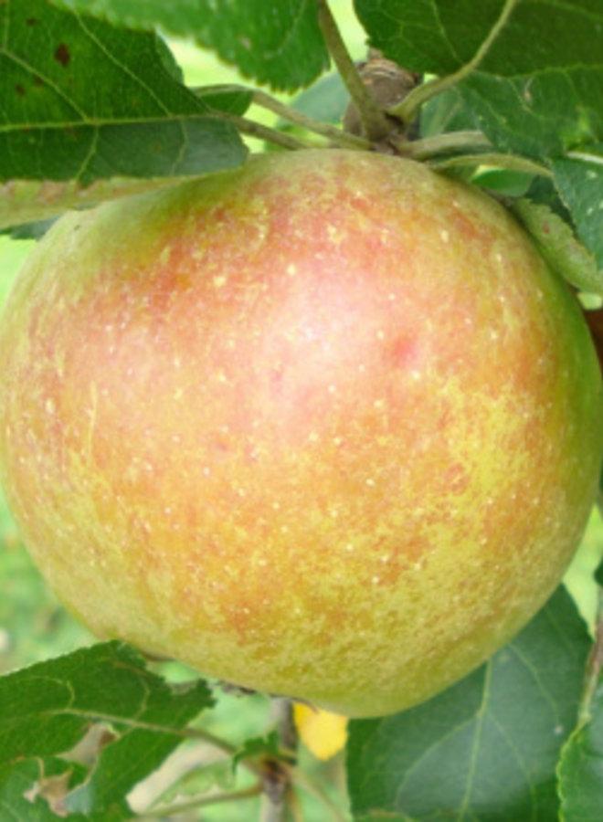 Appelboom - Malus domestica Karmijn de Sonnaville