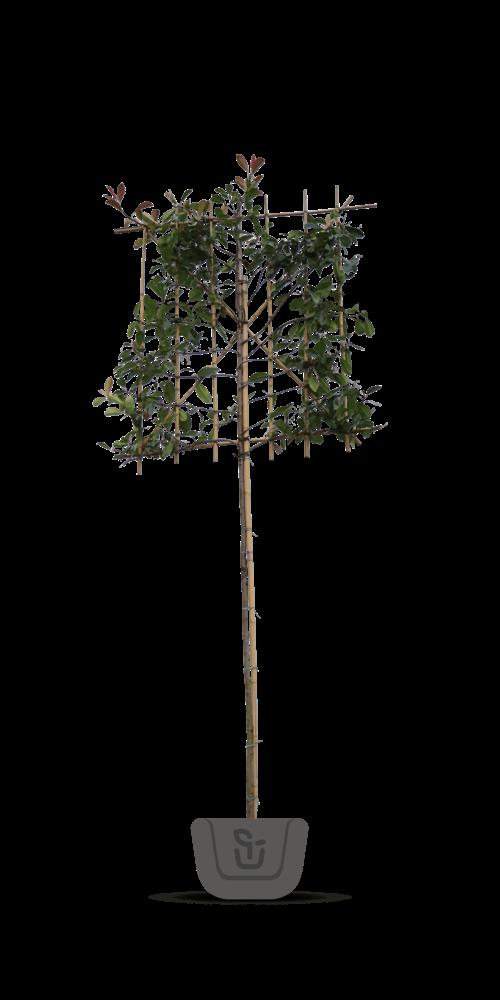 Groenblijvende leibomen