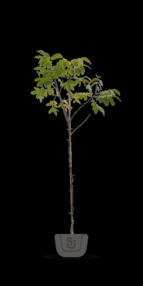 Walnotenbomen