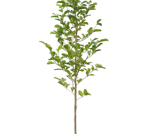 Magnolia bomen