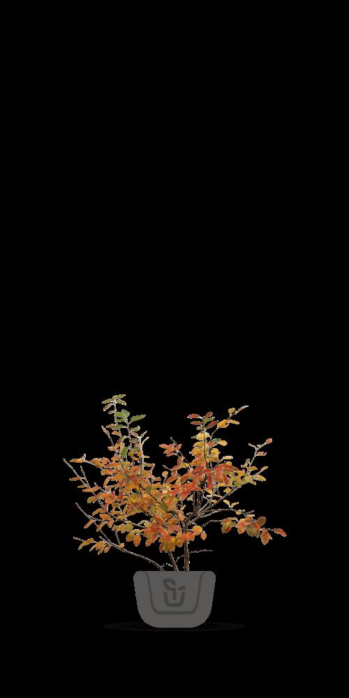 Krentenbomen
