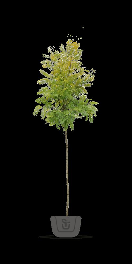 Acaciabomen