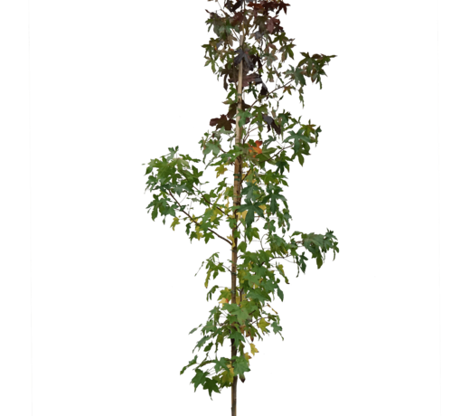 Amberbomen